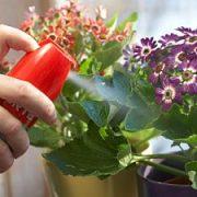 Pasirūpinkite savo kambarinėmis gėlėmis