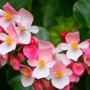 Renkamės saugias kambarines gėles