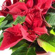 Puansetija – Kalėdų žvaigždė