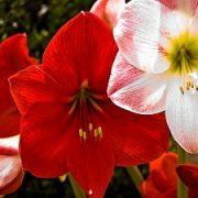 Amarilinių šeima: gėlių priežiūros ypatumai