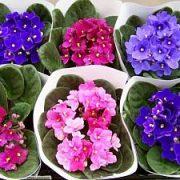 Gesnerijinių šeima: gėlių priežiūros ypatumai