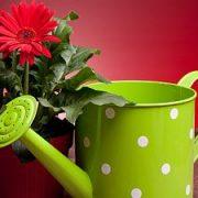 Teisingas kambarinių gėlių laistymas