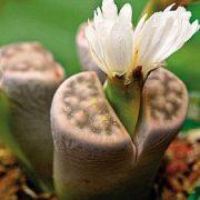 Pluoštagėlinių šeima: gėlių priežiūros ypatumai