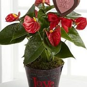 Kambarinės gėlės šv. Valentino dienai