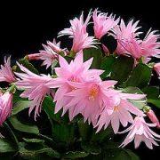 Narenis (Velykų kaktusas)