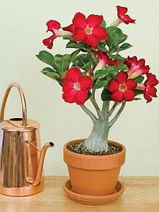 Dykumos roze augalas