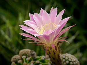 Echinopsis3
