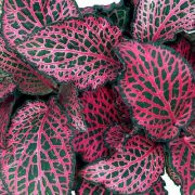 Fitonija (Fittonia)