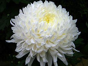 chrizantema1