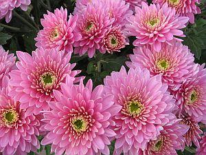 chrizantema2