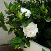 Gardenija (Gardenia) – kaip auginti kambarinę gėlę