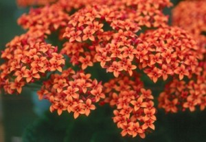 Kalanchoe flowers are bold and colorful, lending an extra dose of festive cheer for the holidays.