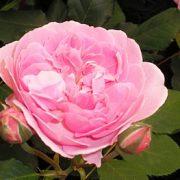 Kambarinės rožės ir jų priežiūra