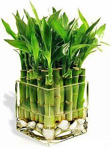 bambukas1