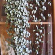 Ceropegija: ką verta žinoti apie šį kambarinę vijoklinę gėlę?