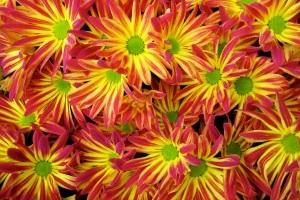 chrizantema