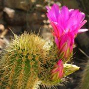 Kaktusai ir jų priežiūra