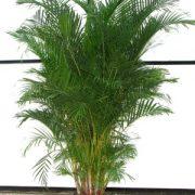 Palmės – namų puošmena