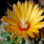 Parodija (kaktusas)