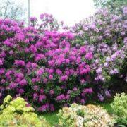 Rododendrai ir jų auginimas
