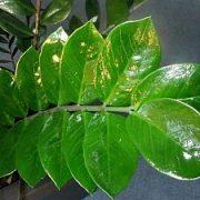 Zamiokulkas (pinigų medis)