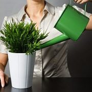 Kambarinių augalų priežiūra rugpjūtį